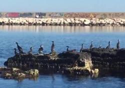 Troppi cormorani, danni alla pesca: «Ne mangiano dieci chili al mese»  - Corriere Tv