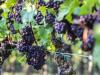 8 marzo: Donne del Vino, la vite nostro simbolo di rinascita