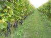 Vino: entrano nel registro nazionale altri due vitigni Lazio