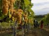 Vernaccia San Gimignano,2021 parte forte, +20% bottiglie