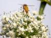 Riparte progetto Bee Safe, salvare api e impollinatori