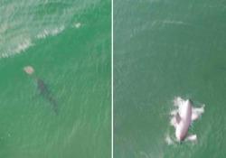 Il grande squalo bianco azzanna la razza al volo: le immagini dal drone Il fotografo Lewis Loughlin si dice «molto fortunato» ad aver catturato questo momento - CorriereTV
