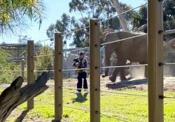 Il papà entra con la figlia nel recinto degli elefanti e viene inseguito dagli animali arrabbiati L'uomo è stato arrestato dalla polizia: è accaduto allo zoo di San Diego, in California - CorriereTV