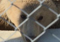 L'orso salvato dagli abusi esce dal letargo In Kosovo era conosciuto come