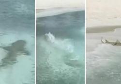 Maldive: lo scatto fulmineo dello squalo che attacca un banco di pesci, ma finisce sul bagnasciuga Le immagini registrate sull'isola di Hurawalhi, alle Maldive - Corriere Tv