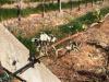 Confagricoltura, gelo produce 18 milioni di danni ai vigneti del Piemonte