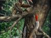 Rappresentazione artistica del nuovo pterosauro Kunpengopterus antipollicatus (fonte: C. Zhao, Current Biology)