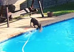 Amici per la pelle: il cane salva il compagno che sta affogando in piscina Cane salva cane: il video dal Sudafrica è diventato virale - CorriereTV