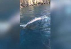 Balena grigia avvistata a Sorrento: «Forse è la stessa vista a Ponza» Il 15 aprile la prima segnalazione, per gli esperti potrebbe essere lo stesso esemplare - Ansa