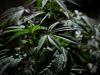 La Cannabis compromette la capacità di guida