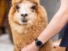 Covid:anticorpo degli alpaca efficace anche contro varianti