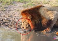 Il leone intimidito dall'arrivo della piccola tartaruga, smette di bere e se ne va  La scena curiosa è stata filmata da una guida durante un safari in Sudafrica - Corriere Tv