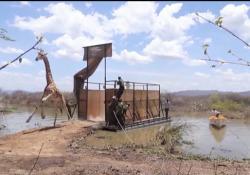 Kenya, il salvataggio dell'ultima giraffa di Rothschild  Il nono esemplare della specie in estinzione rischiava la vita sull'isola di Longichar a causa dell'innalzamento delle acque intorno al lago - Ansa