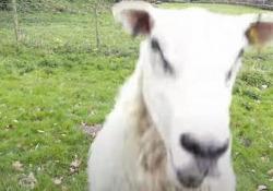 L'allevatore usa il drone per gestire il gregge, ma le pecore non ci stanno Cresce il numero di allevatori che sfrutta le potenzialità dei droni per condurre greggi e mandrie al pascolo: non sempre è una buona idea - CorriereTV