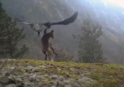 L'aquila reale vola via con la volpe tra gli artigli: il video spettacolare Il filmato catturato in Norvegia da un fotografo amatoriale - CorriereTV
