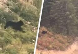 L' orso (arrabbiato) insegue il mountain biker giù per la collina: il video da brivido La scena è stata ripresa nelle Montagne Rocciose del Montana, Usa - CorriereTV