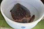 Tartaruga salvata al largo di Filicudi, aveva ingoiato plastica