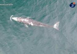 Wally, certificate le dimensioni e l'età della balena grigia con la telemetria dal drone Il giovane cetaceo è in cerca di cibo, stremato dal lungo viaggio attraverso l'Oceano Pacifico - Ansa