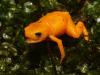 La piccola rana velenosa Brachycephalus rotenbergae scoperta nelle foreste del Brasile (fonte:  Nunes et al, 2021, PLOS ONE (CC-BY 4.0, https://creativecommons.org/licenses/by/4.0/)