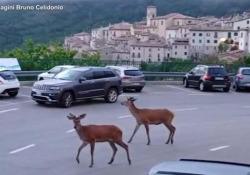 Abruzzo, due cervi a passeggio per le strade del paese I due giovani ungulati non sembrano per nulla spaventati dalle macchine e dai cittadini incuriositi - Ansa