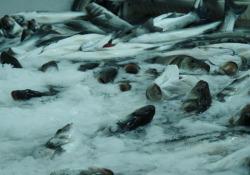 Anche i pesci soffrono? Le risposte per la scienza e le conseguenze per l'industria Se da anni è oramai appurato che i pesci, come tutti gli animali, provano dolore, continua il dibattito sulla loro tutela negli allevamenti. A che punto siamo in Europa - Corriere Tv