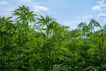 Ruba energia elettrica per coltivare una piantagione di canapa: un arresto a Misterbianco