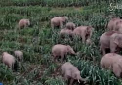 Branco di elefanti selvatici terrorizza la contea di E'shan, in Cina La mandria in poco più di un mese ha provocato 400 incidenti. Alcune abitanti evacuati; nessun ferito  - LaPresse/AP