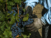 Per Giornate Altoatesine Pinot Nero protagonista annata 2018