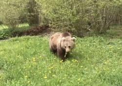 Friuli-Venezia Giulia, l'automobilista filma l'orso che si avvicina senza paura La scena filmata nelle montagne nella zona di Tarvisio, in provincia di Udine - Corriere Tv