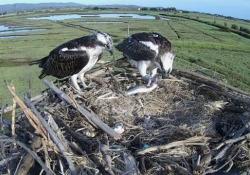 I falchi pescatori tornano nell'Oasi Wwf di Orbetello per nidificare I due rapaci sono tornati per il secondo anno di fila e stanno accudendo un pulcino - Ansa