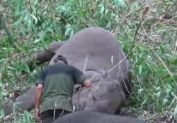 India, un fulmine fa strage di elefanti: morti 18 animali Le immagini dei pachidermi senza vita nel nordest del paese - LaPresse/AP