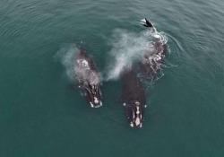L'«abbraccio» tra due balene a rischio estinzione nell'Oceano Atlantico Il filmato è stato catturato dai ricercatori della Woods Hole Oceanographic Institution nella baia di Capo Cod - CorriereTV