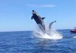 Messico, l'orca «sperona» il delfino durante la caccia: il salto è spettacolare Un video girato da alcuni escursionisti al largo delle coste del Messico nella Baja California - Ansa