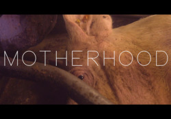 Motherhood, il trailer  Il film di Eline Helena Schellekens sulla maternità in gabbia negli allevamenti intensivi di maiali. Un'iniziativa di Compassion in World Farming per rilanciare la campagna di End the Cage Age  - Corriere Tv