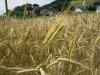 Agricoltura: prezzi ai massimi storici per cereali e soia