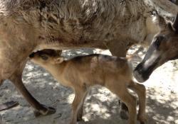 Bussolengo, nato un piccolo di renna. Ma la specie è in pericolo a causa del cambiamento climatico La nascita del piccolo di renna al Parco Natura Viva fa ben sperare per il futuro della specie. A causa del cambiamento climatico, le renne sono costrette a vagare sempre più lontano in cerca di cibo -...