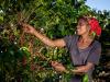 Un caffè biologico per supportare la coltivazione in Congo