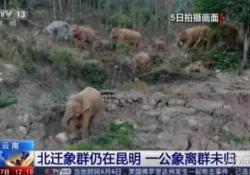 Cina: branco di elefanti nello Yunnan, il viaggio continua Il gruppo di animali ha percorso centinaia di km distruggendo campi e raccolti - LaPresse/AP