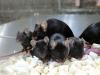 Alcuni dei topi nati da spermatozoi esposti ai raggi cosmici per sei anni (fonte: Teruhiko Wakayama, University of Yamanashi)