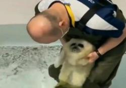 Il cucciolo di foca entra nell'acqua per la prima volta: il filmato da 30 milioni di clic Questo cucciolo di foca riceve la sua prima «lezione di nuoto» in un acquario in Giappone - Dalla Rete