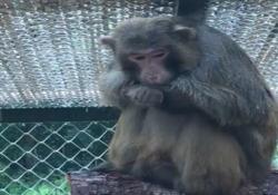 La nuova vita del macaco Lucio: si gode la prima pioggia Uno dei primati ex cavia di laboratorio salvato dalla Lav e ora ospite del centro di Semproniano - Corriere Tv