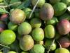 Autenticità olio,nasce Federazione olivicoltori indipendenti