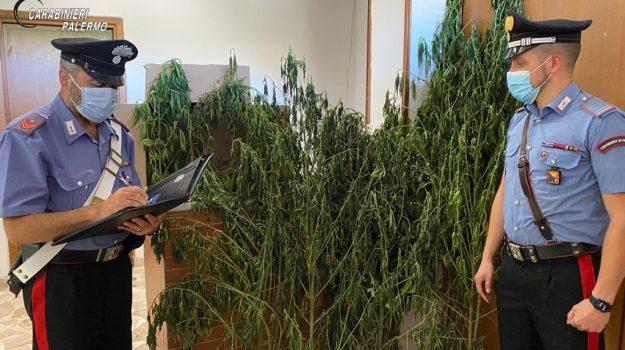 droga, marijuana, Villafrati, Palermo, Cronaca