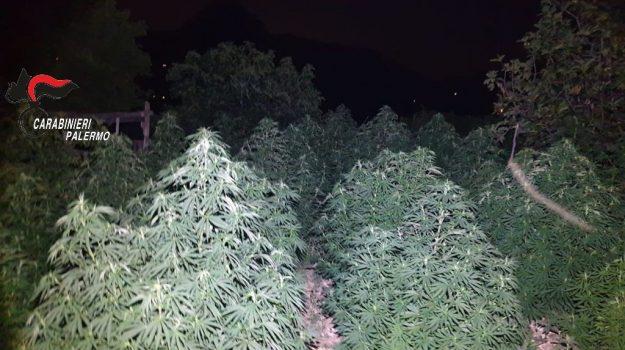 marijuana, san giuseppe jato, Palermo, Cronaca