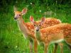 Due cervi dalla coda bianca (fonte: Diana Roberts da Pixabay)