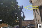 Tiglio mozzato dai vandali a San Cataldo, è polemica: esposto del Wwf