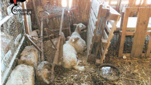 animali, borgo annunziata, Trapani, Cronaca