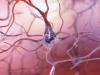 Scoperto un enzima cruciale per l'integrità dei neuroni (fonte: NIA-NIH)
