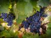 Op Agritalia, coltivazione in sacchetto per qualità uva