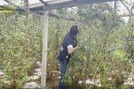 Gela, sequestrate 1000 piante e 40 chili di marijuana: la droga avrebbe fruttato oltre 3,5 milioni di euro